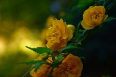 20190409_038_2 (まさちゃん) Tags: bokeh 黄色い花 ヤマブキ八重咲き 山吹八重咲き