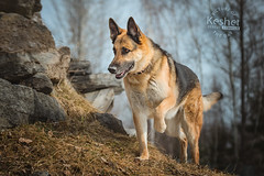 Picture of the Day (Keshet Kennels & Rescue) Tags: adoption dog ottawa ontario canada keshet large breed dogs animal animals pet pets field nature photography german shepherd gsd spring hill grass
