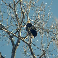 Bald eagle hanging out at the Grand Basin, Forest Park. (amy buxton) Tags: birds forestpark grandbasinsavanna winter amybuxton nature natural stlouis animals savanna urban raptor seaeagle baldeaglehaliaeetusleucocephalus forestparkforever