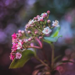 Blooming Viburnum (Of Light & Lenses) Tags: steinheilcassars2850mm viburnum winter blossoms nature naturfoto vintagelens steinheil bokeh arrowwood