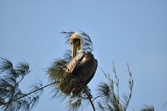 Pelecanus occidentalis (camiloadolfozabala) Tags: nikond3400 birds aves avesdecolombia