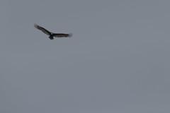IMG_4446 (armadil) Tags: prairie ranchocorraldetierra bird birds vulture turkeyvulture flying