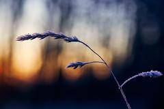 Frosty Morning (generalstussner) Tags: natur nature frost sunrise sonnenaufgang bokeh glistening gras makro macro closeup
