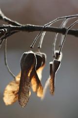 Backlit (gripspix) Tags: stellagon isco projectionlens projektionsobjektiv 128100mm 20190127 nature natur test probe plant pflanze flugfrüchte samen ahorn acer seeds