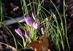 DSC_2482 Crocus (PeaTJay) Tags: nikond750 sigma reading lowerearley berkshire macro micro closeups gardens indoors nature flora fauna plants flowers crocus