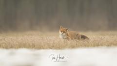 Fox (Ian howells wildlife photography) Tags: ianhowells ianhowellswildlifephotography nature naturephotography wildlife wildlifephotography wild fox