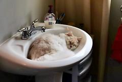Of All Places ... (Haytham M.) Tags: serene serenity indoor indoors comfort deep sleep wash bathroom sink basin cat sigma1770mm canont7i