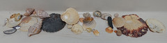 Sea shells collected world wide (D70) Tags: sea shells collected world wide 039365canada newzealand mediterranean indianocean seasia