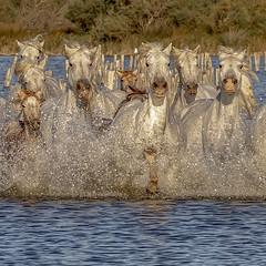 Trempette Camarguaise (Xtian du Gard) Tags: xtiandugard square carré chevaux camargue animaux liberté trempette provence france
