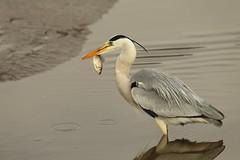 Catch (Teruhide Tomori) Tags: nature bird wild kyoto japan japon hirosawanoike pond winter animal greyheron アオサギ 野鳥 広沢池 京都 冬 鳥 動物 野生 日本 water
