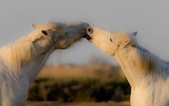 Romantic kiss (paolo_barbarini) Tags: camargue wildlife animals mammals horses cavalli kiss bacio romantic tenderness nature