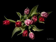 _61A0306 (fotolasse) Tags: blommorstudiontulpaner blommor flowers blad tulpaner sweden sigma 50mm canon studio light visico ttl5