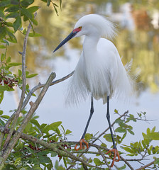 Snowy Egret in Breeding Plumage (TomLamb47) Tags: nature wildlife bird sneg snowy egret breeding plumage tree water gatorland orlando florida fl canon 7d 100400mm