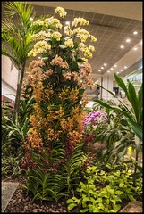 Singapore Changi airport Orchids-4= (Sheba_Also 45,000 photos) Tags: singapore changi orchid gardens