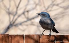 Woodhouse's Scrub-Jay (Kerstin Winters Photography) Tags: jay woodhouses scrubjay newmexico albuquerque bird vogel sigma nikon