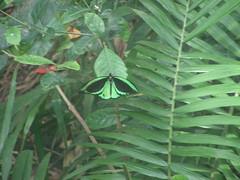 Aberrant Cairns birdwing, Ornithoptera euphorion mf. confluenta; Sydney Wildlife World (sarracenia.flava) Tags: ornithoptera euphorion confluenta aberration aberrant australia sydney wildlife world cairns birdwing butterfly