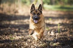 _DSC5527w (Lionel STD) Tags: chien dog chiens dogs bergerallemand berger allemand germanshepherd animal animaux oneanimal mammifère mammal domestique domestic canin canine animauxdomestiques domesticanimals animaldecompagnie pet animauxdecompagnie pets
