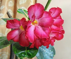The pink of me !! (Lopamudra !) Tags: lopamudra lopamudrabarman lopa flora flower pink adenium mygarden beauty beautiful westbengal india kolkata pretty colour love colourful