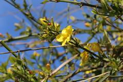 Give me colors (Argyro Poursanidou) Tags: blossom yellow tree sky blue nature