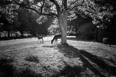 Free range deer (Buck777) Tags: 50mm agfaambisilette fuji nature f animal freerange fawn bambi doe hine reddeer deer