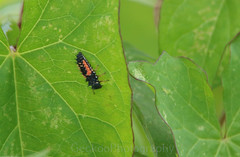 Harlequin ladybird larva (Geckoo76) Tags: insect beetle ladybird ladybug harlequinladybirdlarvae harmoniaaxyridis
