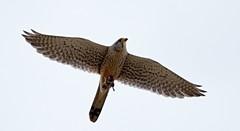 AL6I0693 (chavko) Tags: predators flickr jozefchavko falco tinnunculus common kestrel slovakia wildlife sky bird animal