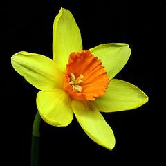 Daffodil ..  Explore 4/13/19 (LotusMoon Photography) Tags: daffodils flower nature bloom blossom blooming spring seasons seasonal bright vividcolor vivid vibrant annasheradon lotusmoonphotography