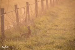 When sunrise, dew and a hare all come together 😃 (Renate van den Boom) Tags: 04april 2019 europa gelderland haas jaar maand nederland ooijpolder renatevandenboom zoogdieren