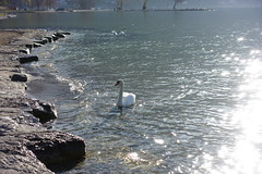 Swan @ Plage d'Albigny @ Annecy-le-Vieux (*_*) Tags: 2019 spring printemps march europe france hautesavoie 74 savoie annecy annecylevieux plagedalbigny lakeannecy lacdannecy animal bird swan cygne nature beach