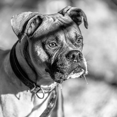 Judd05Jan20197-Edit.jpg (fredstrobel) Tags: dogs pawsatanta phototype atlanta blackandwhite usa animals ga pets places pawsdogs decatur georgia unitedstates us