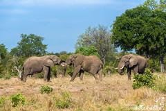 African Bush Elephant (about-nature) Tags: afrikanischerelefant classmammal continentafrica countrysouthafrica elefantafrikanisch familieelefanten familyelephantidae gattungafrikanischeelefanten genusloxodonta klassesäugetier kontinentafrika landsüdafrika orderproboscidea ordnungrüsseltiere speciesafricanbushelephant speciesloxodontaafricana krugerpark mpumalanga südafrika za