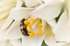 El desayuno (Geno G.) Tags: macro macrofotografía flowers flores naturaleza nature insects pistilos pétalos photography photographer explorer insectos allium polen nikond90 tamron90mm