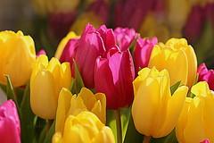 Weekend Tulips (abrideu) Tags: abrideu canoneos100d tulip yellow pink flowers macro depthoffield bright bokeh ngc npc