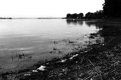 Coastline (Nikon F80) (stefankamert) Tags: landscape coast coastline film analog grain bokeh blur water lakeconstance bodensee hegne trees noiretblanc noir nikon f80 slr ilford hp5 voigtländer ultron blackandwhite blackwhite