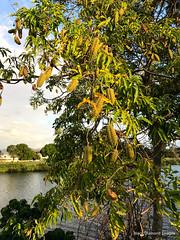 Flindersia xanthoxyla - Long Jack, Yellowwood (Black Diamond Images) Tags: flindersia flindersiaxanthoxyla rutaceae longjack yellowwood arfp nswrfp qrfp dryarf subtropicalarf littoralarf arffs greenarffs murwillumbah tweedriver iphone7plus nsw vinethicketarf