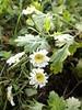 Tanacetum parthenium (L'herbier en photos) Tags: composées asteraceae compositae astéracées tanacetum parthenium schbip camomille grande feverfew matricaria provenchèressurfave provenchères fave provenchèresetcolroy vosges grand est france lorraine pa0445 ecoid686