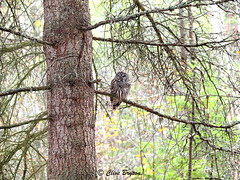 Barred owl (clive_bryson) Tags: bird barredowl shuswap britishcolumbia canada clivebryson
