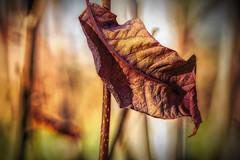 Weathered (Vanessa wuz Here) Tags: macro leaf sunlight 90mm stalbertbotanicalgarden autumn orange yellow copyrightvanessabartosek