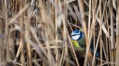 Blåmejse 2019-02-03 (Gorixdk) Tags: tit danmark denmark dk canon eos 6d mark ii 2 ef 100400mm f4556l is dslr fugl fugle bird birds vogel oiseau oiseaux vögel frijsenborg skov hammel blue