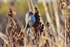 Bushtit (Psaltriparus minimus) female (R-Gasman) Tags: bird bushtit psaltriparusminimus female richmond britishcolumbia canada