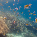Underwater world. Coral reefs of Thailand         IMG_3445s