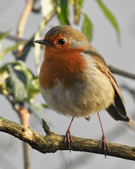 Robin (LouisaHocking) Tags: barrysidings wild wildlife british bird southwales wales gardenbird robin nature
