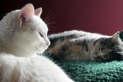 Old School Portraits 02242019 (Orange Barn) Tags: cats sleeping lounging feline blanket 119picturesin2019 pets tortoiseshell