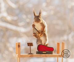 red squirrel is jumping with an guitar (Geert Weggen) Tags: redsquirrel red squirrel animal arts author back bow bright classical closeup concert culture cute entertainment equipment horizontal humor instrument music guitar stringinstrument bispgården jämtland sweden geert weggen ragunda geertweggen hardeko