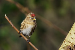 K32P4875c Redpoll, Lackford Lakes, February 2019 (bobchappell55) Tags: wild bird wildlife nature lackfordlakes suffolk redpoll woodland carduelisflammea