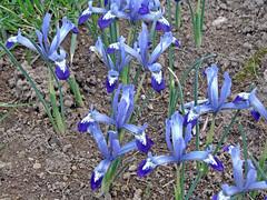 Iris reticulata (onnola) Tags: koblenz rheinlandpfalz deutschland rhinelandpalatinate germany spring frühling blume blüte flower blossom irisreticulata iris schwertlilie netzblattiris zwergiris nettediris blau blue