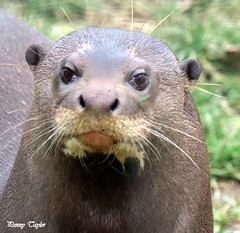 giant otter (alpenfrankie) Tags: canon eos 750d animals ywp beautiful captive giant otter mammal giantotter