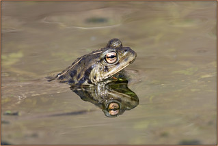 Common Toad (image 1 of 4)