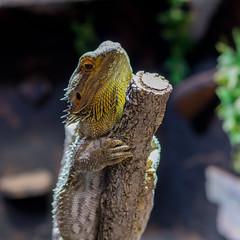 Ponga (kimomenu) Tags: dragon beardeddragon