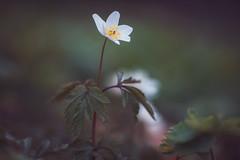 Anemone (michel1276) Tags: buschwindröschen woodanemone nature makro macro manualfocus vintagelens bokeh bokehlicious bokehlove flower frühling spring